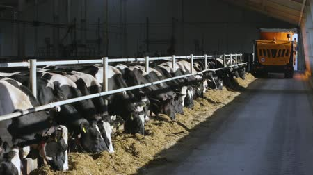 smoczek : Breeding of cows in free livestock stall Wideo