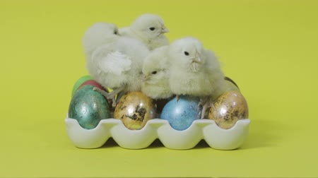 Little chicken sitting on colored easter eggs on yellow background Wideo