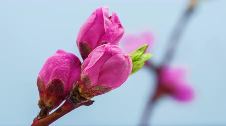 rostoucí : Time lapse video of a peach flower growing