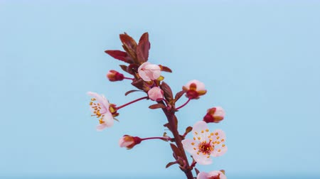 śliwka : Time lapse video of a wild plum flower growing on a blue background Wideo
