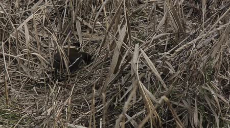 volatile : moorhen pecking in the reeds Stock Footage