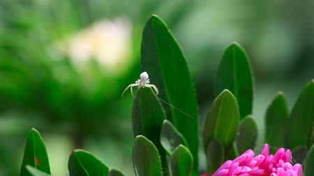 thomisidae : Crab spider weaves a web on a flower.