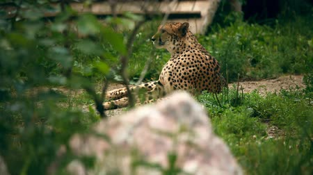 gepard : Cheetah lying in grass. Novosibirsk Zoo Wideo