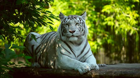 kaplan : White tiger is resting. Stok Video