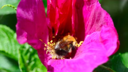 polinização : Bumblebee on a flower of wild rose.