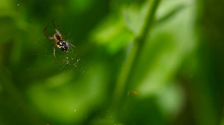 spider web : Spider on the Web. Hunting. Stock Footage