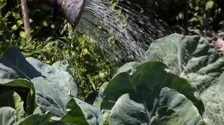 konewka : Watering the beds with cabbage.