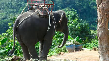 tajlandia : Elephant for riding. Phuket, Thailand.