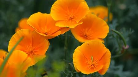 haşhaş : Bumblebee on the flowers of California poppy.