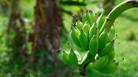 фрукты : Bunch of bananas, Phuket, Thailand. Стоковые видеозаписи