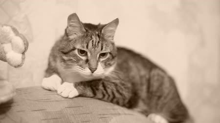 tabby cat : Senior cat (17 y.o.) in the sofa. Monochrome. Stock Footage