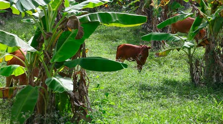 banany : Cows in the banana forest.