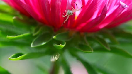 thomisidae : Crab spiders weaves a web on a flower. Stock Footage