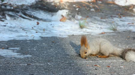 memeli : Squirrel eating sunflower seeds. Stok Video