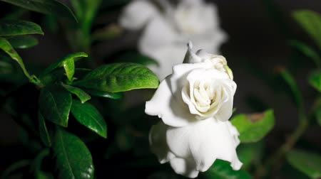 flor cabeça : Time-lapse of white gardenia opening , close-up.