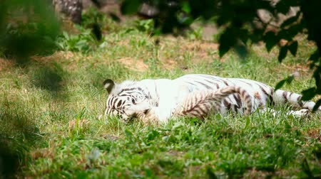 bengali : White tigress with cub playing.