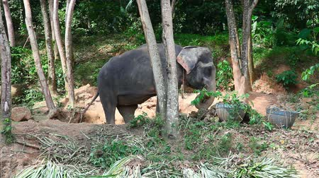 fil : Elephant farm. Phuket, Thailand. Stok Video