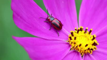 цветущий : Red and black beetle at the cosmos flower petal.