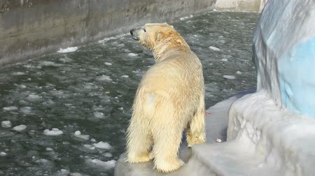 полярный : Polar bear having a meal at the ZOO