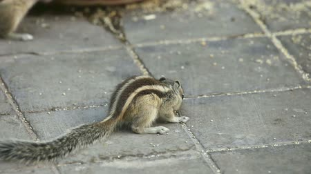 chipmunk : Chipmunks searching food on the pavement.