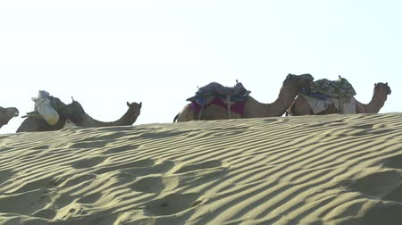camelo : Camel caravan stopped to rest.