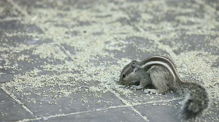 chipmunk : Chipmunk eating grain on the ground. Stock Footage