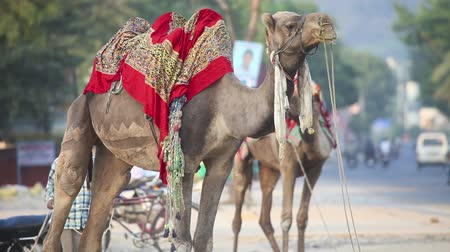 cobertor : Two camels standing near the road. India.
