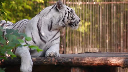 kočička : White tiger yawning in the Zoo.