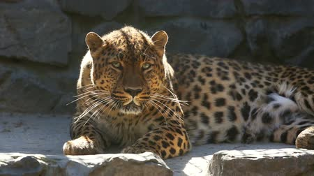 pisi : Jaguar resting in his aviary at the Zoo. Stok Video