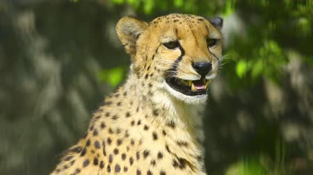 gepard : Young cheetah male calling cheetah female Wideo