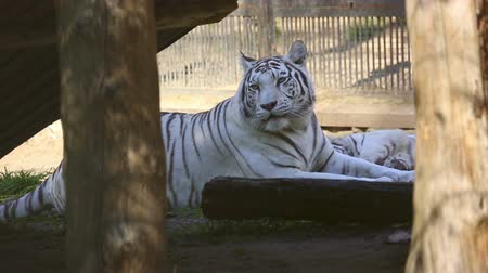 bengali : Gorgeous white tigress lying on the grass with her cub. Stock Footage