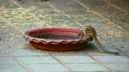 savci : Chipmunk drinking from the ceramic bowl.