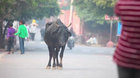 krowa : Indian buffalo on the streets of Agra, India. Wideo