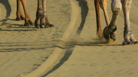 wielbłąd : Camels striding across the desert sand. Wideo