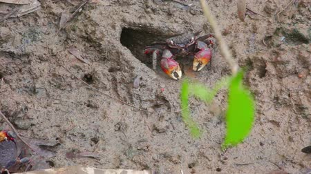 sesarma : Red-clawed crab - Sesarma bidens in mud. Timelapse Stock Footage