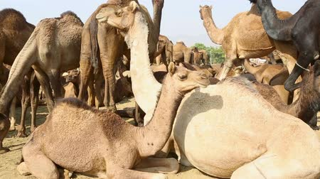 camelo : Camels during Pushkar Camel Fair Stock Footage