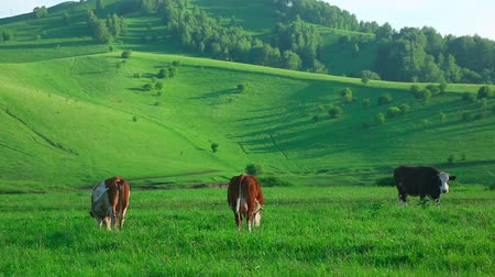 otlama : Cows grazing on the meadow.