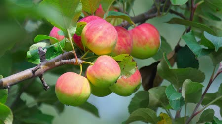 pomar : Close up shot of apples on the tree. Vídeos