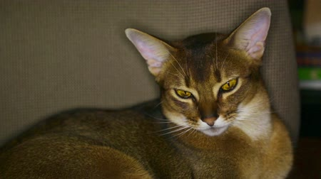 lying cat : Abyssinian cat