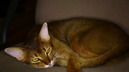 kahverengi : Young abyssinian cat lying on the couch