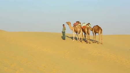 camelo : An unidentified man is leading his camels across the Thar desert near Jaisalmer Stock Footage