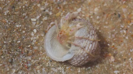 crustáceo : Tiny hermit carb in sea shell. Macro shot