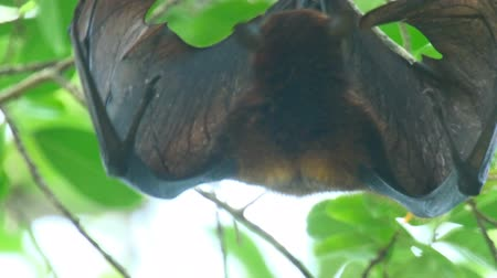 morcego : Lyles flying fox Pteropus lylei washes licking the skin of the wing