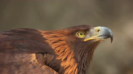 orel : Portrait of Golden eagle Aquila chrysaetos