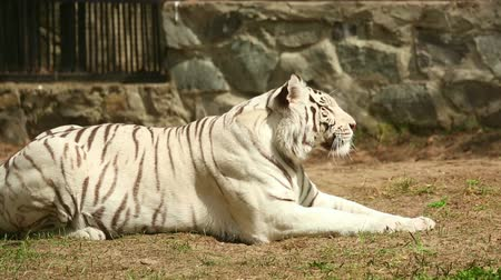 kaplan : The white tiger is lying on the grass and basking in the spring sunshine