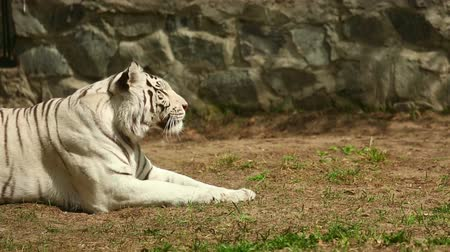 bengal cat : The white tiger is lying on the grass and basking in the spring sunshine