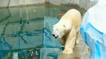 полярный : Polar bear walking near pool