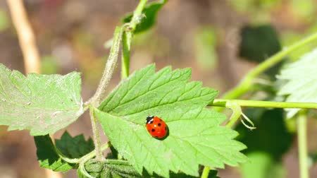 katicabogár : Ladybug on the raspberry leaf closeup Stock mozgókép