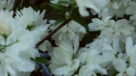 fragrância : Close-up dolly shot of white blooming jasmine