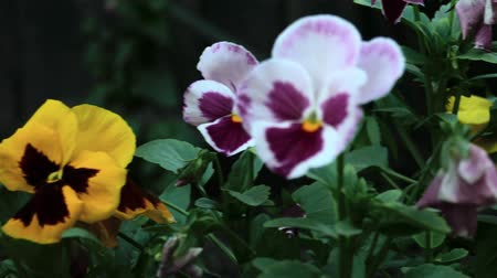 maceška : Pansy flowers close up, dolly shot